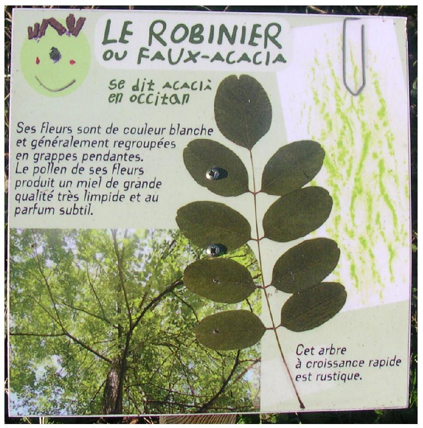 6 ARBELLE robinier